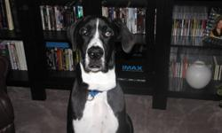 MANTLE GREAT DANE   Very playful great dane needs his forever home, preferably a young energetic man or young couple, he loves water, going to the dog park and long walks. Duke is microchipped and all his shot are up to date, he's not neutered and new