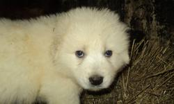 Maremma puppies for sale one female, four males from working parents, very good family dogs and excellent livestock guardians. Ready to go to your home after Jan 1, 2012