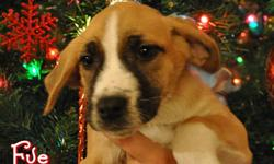 We have five 2 month old Bull Mastiff/Boxer puppies available for adoption through Manitoba Underdogs Rescue (http://www.manitobaunderdogs.org). Eve, Holly, Joy, and Snowflake are females. Jack Frost is a male. There will be an adoption fee for these