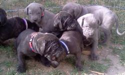 Neapolitan Mastiff crossed puppies for sale. They are going to be very large dogs! The dad was 100lbs at 6 months old. 6 boys. 2 blue males, 2 black reversed brindle and 2 black brindle. Very big block wrinkly heads already. Taking deposits now to ensure