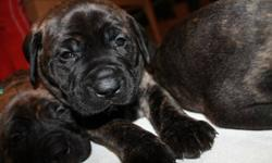 ONLY 3 PUPPIES LEFT!! We have two girls and one boy left. All puppies are about 9-12lbs each at 5wks old.   We own both mother and father. Father is a purebred English Mastiff and mother is a purebred Bullmastiff. They had 7 puppies. 4 boys and 3 girls.