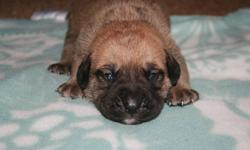 Hello, beautiful Mastiff cross pups for sale. They will be either fawn or red with some having black masks. Both parents are on site and can be viewed. The parents are both very friendly with all people and animals and are very well adjusted dogs. I do