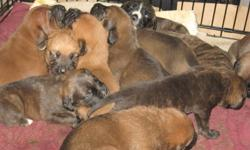 ** 6 puppies left** We have a beautiful litter of 11 bull mastiff puppies. We have 6 females and 5 males, they are a mix of fawn & brindle colours. They are very playful puppies. We have both parents as our family dogs. These puppies will make a wonderful