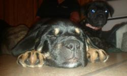 Please help us, all our other brothers and sisters have names already and we're still waiting.We are 4 female puppies that are in need of a good home. Mom is a Rottweiler/ Mastiff X and dad is a Mastiff (2 types) . 2 of us they say look like Rottweilers