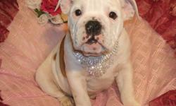 Maximum Bullies. These pups are 3/4 English Bulldog, and 1/4 Boxer. We have only 1 female in flashy fawn available.  She will reach a mature height of approx. 16 inches at the shoulder, and a mature weight of approx. 55lbs. Tail and dewclaws have been