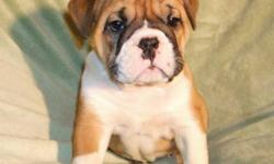 Maximum Bullies. If your looking for a great looking Bulldog, but don't want to deal with all the health issues that can be associated with the purebred Bulldogs, then our Maximum Bullies could be just what you've been looking for. These pups are 3/4