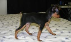 2 adorable male min pin puppies tails docked are loveing and playful raised in family home around other dogs and cats  400.00 or best offer call fred at 780-712-5283    we live in niton junstion witch is 1 hr and 20 min west of edmonton on hy 16