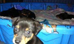 These adorable little guys are looking for a forever loving caring home, they are gentle natured and loyal dogs. Both mom and dad are available for viewing. 2 males and 4 females they have had dew claws removed, their tails docked and 1st set of shots and