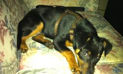 Hello. We have a min pin crossed with another small breed dog which was apparently unknown. Who we got him from originally said he shouldn't grow to be more than 15lbs. He has had a set of shots and hasn't been neutered yet. He is extremely cute and