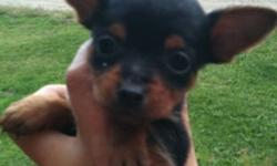 Adorable min pin x puppy. She is a beautiful black and tan, her mother is a purebred min pin and father is a purebred Yorkie both parents are under 5 lbs. This little sweet heart is ready for her loving forever home!! This ad was posted with the Kijiji