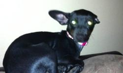 """pure bred minpin """"lulu"""" great christmas gift 780 605 0888 melanie This ad was posted with the Kijiji Classifieds app."""