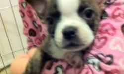BOSTON TERRIER puppies We have a litter of Boston Terrier puppies that are now ready for visitors and homes. There are 2 Males left in this litter. There are well socialized and paper trained. They love cuddles and chasing after my girls. They have been