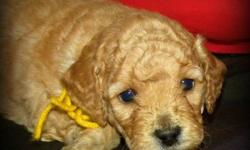 7 Beautiful F1B Miniature GoldenDoodle Pups available February 24th - Out of the 7 Pups we have 4 still available.... 1 boy and 3 girls.   Our F1B Mini Doodles will be wavy to light curly, non shedding, allergy friendly coat.  They will mature between 15