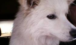 Mini american eskimo for sale......hyper and loves to play......loves attention......needs lots of attention. Very sweet....im starting up a dayhome and need to sell him a.s.a.p. His name is bear and he is only 11 months. Will be 1 year jan 18. He comes