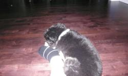 12 week old Mini Australian Shepherd.  Must sell her due to babies being allergic to her. Loves to be around  people and run and play outside.  Has second set of shots.  Comes with crate and bed and some other accessories.  Great on a leash and is a very