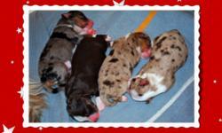 Our litter of beautiful reg. purebred Mini Aussies arrived on Dec. 22nd. Both parents have all their health clearances and are of great temperament. Puppies will be matched to right homes and come with health guarantees. They will be ready to go to their