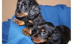 Beautiful Mini Daschund Puppies , all puppies are males. Dad is long hair and mom is short haired( We have included a picture of the mom below, she is  very loving friendly ). Delivery can be arranged to Calgary. Charming little boys, the have their first
