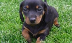 Expecting a litter of dapple's and black & tan's that will be ready for new homes mid April.  Puppies will have 1st shots, deworm and vet health check.  They are raised underfoot in our home with plenty of love from our 4 children.  Taking names for my