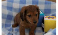 Excellent temperament, very loving and playful!  They are ready to go now to their new forever homes and families.  They have their first vaccinations and have been dewormed.  Each puppies takes a gift bag to his new home with blanket, toy, small bag of