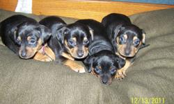 Father is a pure breed mini pin, mother is 1/2 mini pin and 1/2 chihuahua. They have their tails docked dew claws removed, they will also have their first shots and be health checked. They are raised in our home so they are used to kids. We are willing to