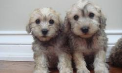 We have 1 schnoodle puppy available for adoption. She's an adorable girl!   She's mostly salt with specks of pepper. Mother was a miniature schnauzer, and the father was a cream miniature poodle.  We estimate that she'll mature to around 18 lbs.      She