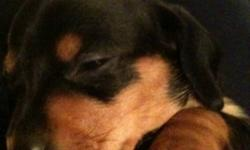 I have 1 female pup left out of a this litter. She is the black and tan puppy in the pictures and is the sweetest little girl you will ever meet. These pups have had lots of attention from my son and his firends and will make a great addition to any