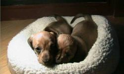 HIGH QUALITY PUPPIES, Highly Intelligent and Family raised, 1 female with written HEALTH GUARANTEE, toy, food, vet checked, 1st shots, de-wormed, Emphasis on socialization, potty training. MUST GO!! WE ARE NOT A PUPPY MILL or BACKYARD BREEDER, Very