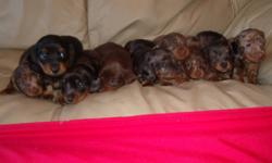 Miniature Dachshund Puppy                       Chocolate and tan point, longhair                                READY TO GO!!!!!    We have a chocolate miniature dachshund male puppy for sale. He has already received his first set of immunizations and