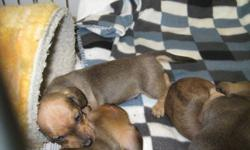 A home raised litter of four, three males and one female, all smooth with a shade of red!  They were born December 9th, 2011.  Both parents on premises.  Very affectionate little dogs who love to cuddle.  First shots and vet checked.  Ready to go mid