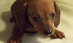 Adorable litter of miniature dachshund pups.  An array of colours for everyone!   Pictured as follows:   1 & 2 - Red Males; 3 & 4 - Red Dapple Male; Blue Dapple Male;   All pups have had their 1st shots and deworming treatments.   Located approx. 45