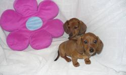 These female are looking for good homes to go to. They are wonderful little pets. Both Parents and Miniature Daschund and make a great Pet. Each one of the puppies goes with a vet paper that show the shots and dewormer they recived on Sept 10th 2011. If