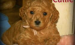 7 Beautiful F1B Miniature GoldenDoodle Pups available February 24th - Out of the 7 Pups we have 3 still available.... 1 boy and 2 girls.  (Our boy's picture is not posted ... we are waiting the outcome of an appointment to view him.... Our 2 girls Callie