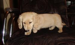 "1 male Miniature Long Haired Dachshund puppy left available for his forever home. Rare English Cream. Parents are on site and are available for viewing. ""This is NOTa  puppymill dog."" He is a loveable, loyal and loving little dog. Don't miss out on this"