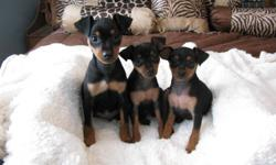 Min Pin Pups (purebred) Black and Tan Males and Female available, Tails Docked and Dewclaws Removed, Veterinary Checked including there Heath Exams, First Vaccines, Dewormings, and come with a Health Certificate from the Vet! Home Raised, Socialized very