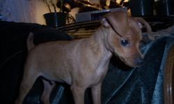 ?McGinty? is a spunky 12 week old  Miniature Pinscher puppy?  confident and outgoing and FULL OF PLAYFUL MISCHIEF!  He?ll keep you laughing all day long with his antics. He is CKC registered and has a very nice pedigree. He has been vet checked and