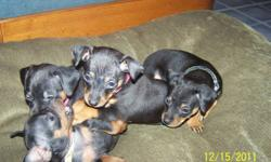 Father is a pure breed mini pin, mother is 3/4 mini pin and 1/4 chihuahua. They have their tails docked and dew claws removed. They will also have their first shots and be health checked by the vet. They are raised in our home so they are used to being