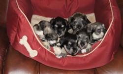 5 CKC REGISTERED MINIATURE SCHNAUZERS READY FOR ADOPTION MARCH 1/2012. 2 SALT AND PEPPER MALES,1 BLACK AND SILVER . 2 SALT AND PEPPER FEMALES. PUPPIES WILL HAVE A FULL VETERINARY CHECK-UP,VACCINATIONS,DEWORMING AND MICROCHIPPING. ALL PUPS WILL BE CKC