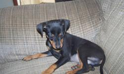 1 black and tan male and 1 red female miniture pincher for sale.