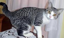 Maizie 6 mos. Spayed/Female   Maizie is a truly beautiful grey & white tabby girl with perfect markings, an adorable little face, and a truly sweet and gentle nature. A highly affectionate kitten who loves to be cuddled and held, Maizie is very much a lap