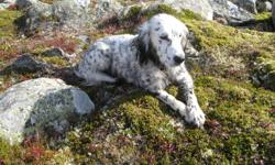 Our 8 year old ENGLISH SETTER has been missing from our home since October 24, 2011. If you see him PLEASE call us so we can find him or at least know where to look for him. He has been spotted in Portugal Cove on November 22 and on Thorburn Road the