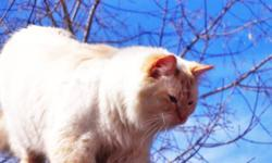 Missing since Oct 28th , white med/long haird male fixed with orangy markings on tips of ears and abit on face and tail , very very friendly , names GUS , Blue eyes just over 2yrs old , we really miss him and would love to have him back home ! if anyone