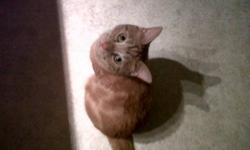 "Lost male 1 1/2 yr old declawed (front) neutered small orange and white tabby cat. He has white marking on his left side looks like the word ""NO"".  Answers to Toby.  Lost in the Lansdowne/Devonshire Area of Woodstock on Sat. Oct. 22/11 He is VERY missed!"