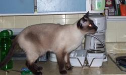 Our Siamese cat got out during a family get together for Thanksgiving on October 9 around 4 to 6 pm. We live near Ridgetown close to the corner of Ridge Line and Kent Bridge Road in the country. Please call if you have seen him or have him. Thanks! Todd