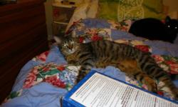 WE ARE LOOKING FOR A HAPPY HOME FOR THIS LOVELY LITTLE GUY...MORENCI..HE IS UP FOR ADOPTION WITH THE CAT ADOPTION TEAM, WE ARE A CAT RESCUE GROUP LOCATED IN K-W AREA. MORENCI:  BORN 24 JULY 2010:  MALE, BLACK AND  GREY, STRIPED TABBY, MAKING HIM ALMOST