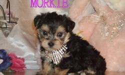 We have a beautiful Morkie female available to a loving home. She is non-shedding and hypo-allergenic. Her mature weight should be approximately 5-6 pounds. She is  very affectionate and has a playful personality. Parents can both be seen. First shot, vet