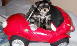 These Morkie pups are lively and loving, the perfect companion dog. Mom is a PB maltese and dad a handsome PB Yorkshire Terrier. These puppies are well socialized , raised underfoot with love and devotion.  Before they leave my home, they will have their