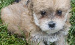 Adorable , loving , affectionate non shedding and hypoallergenic. Ready for their forever home now. . current needles , vet check , health guaranteed . Will be about 7 to 9 pounds as adults depending on the pup. These pups have been very well socialized