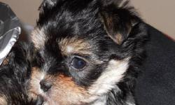 This lively and lovely Morkie pup is the perfect companion dog. Mom is a PB Maltese and dad a handsome PB Yorkshire Terrier. He is well socialized, raised under foot in a family enviroment. His estimate weight at maturaty will be around 6 lbs. Vaccination