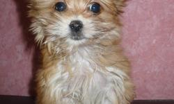 Maltese / Yorkie mixed Small Toy breed...  well trained, non-sedding,.non-Allergetic         647-460-1052  shots, dewormed,  2 year Health Guarantee....good with kids.  and black And Tans.... good dog breeder for over 25 years now.