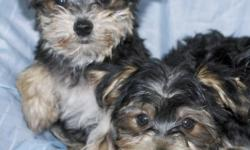 Maltese X Yorkie Pups! Tiny, Non-shedding balls of fluff Parents 6 & 9 lbs so will stay small Health exam, vaccinated & dewormed Affectionate, Good with kids Call or email to come visit 905-704-8763